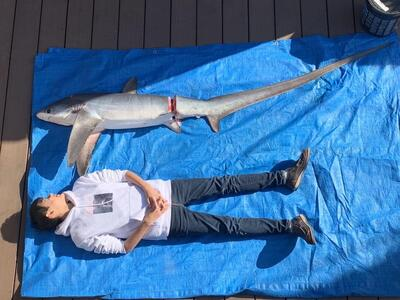高知の知り合いの漁師さんから研究用にオナガザメを送ってもらう